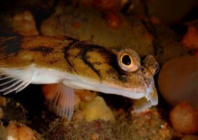 flunder-kleiner-belt-flounder-lillebelt