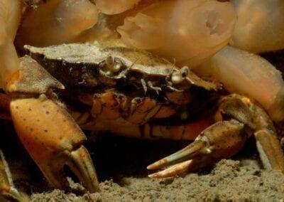 gemeine-strandkrabbe-ostsee-beach-crab-baltic-sea