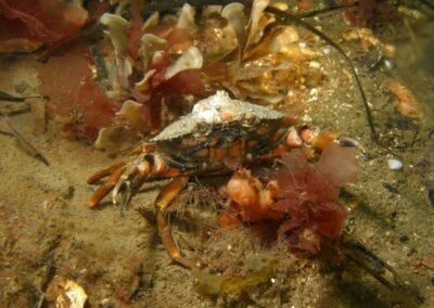 gemeine-strandkrabbe-ostsee-beach-crab-baltic-sea-denmark