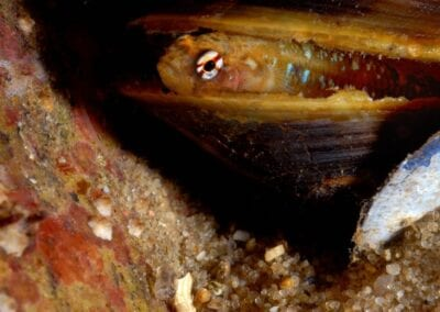 grundel-in-muschel-goby-in-mussel