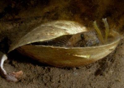 grundel-in-muschelschale-goby-in-shell