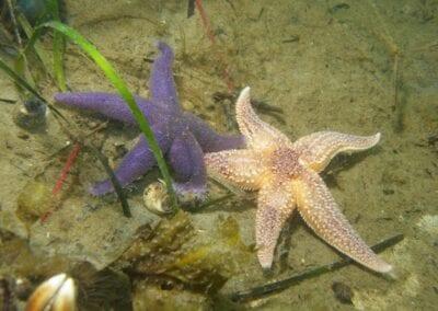 lila-seestern-purple-starfish