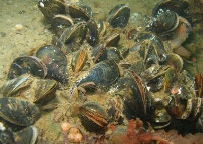 miesmuscheln-blue-mussels