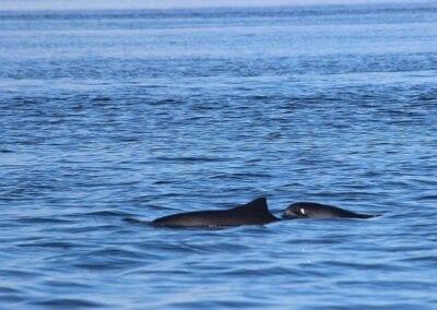 Bei Schweinswalen oft dicht beieinander: Mutter und Kind