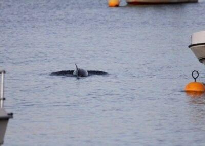 Direkt am Strand vor Gl. Ålbo: Schweinswal schwimmt im nur hüfttiefen Wasser zwischen den Booten