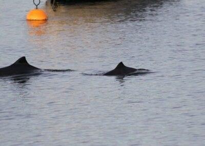 Auf Gl. Ålbo oft früh morgens zu beobachten: Schweinswale direkt neben dem Bootssteg