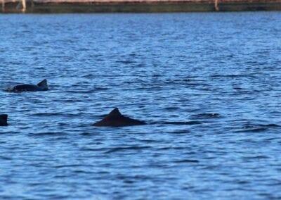 Meistens in der Gruppe unterwegs: Schweinswale