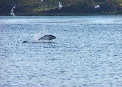 Und ab und zu springen sie sogar: Schweinswale im Lillebælt