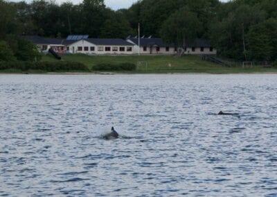 Da hat er's wohl eilig: Schweinswal auf der Jagd