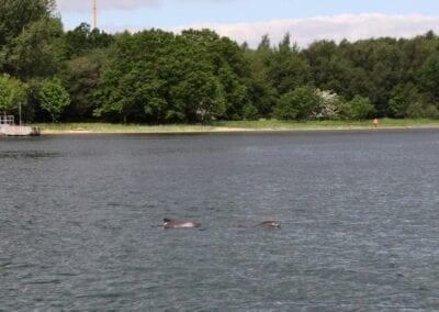 Zwei Schweinswale im Lillebælt dicht am Ufer
